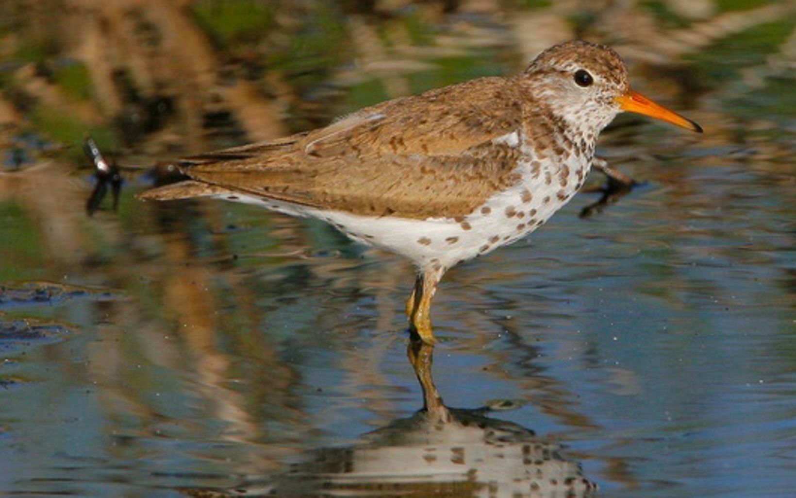 The many different sandpipers can be hard to identify, but the eponymous markings of the spotted sandpiper (Actitis macularius) make this one a bit easier to recognize.