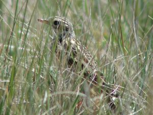 This small songbird breeds in the short- and mixed-grass prairies of North America.