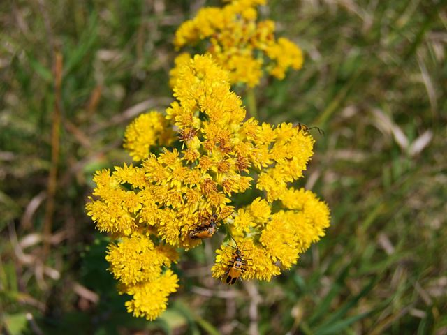 Insects climb on the yellow blooms of stiff goldenrod.