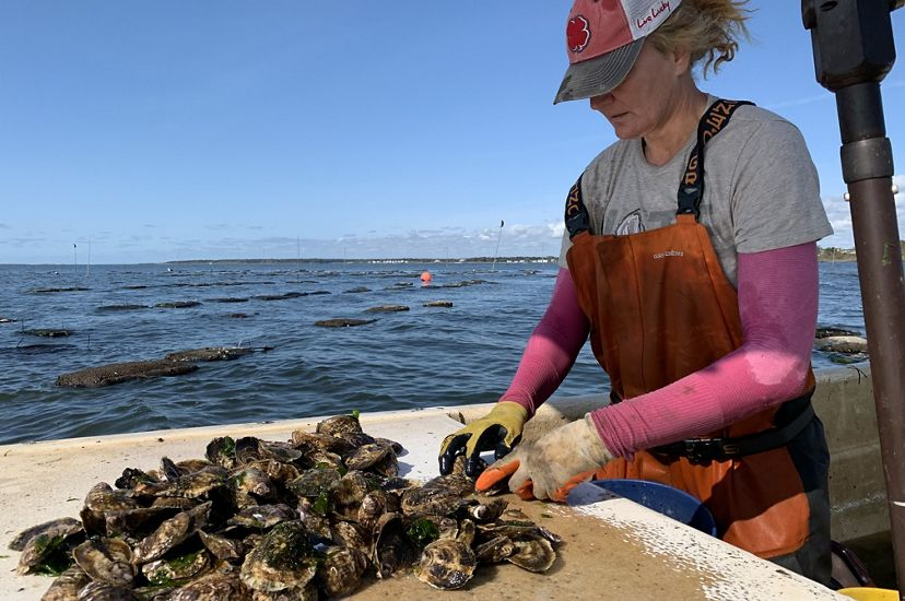 Sue Wicks handles oysters harvested from her oyster farm in Long Island, New York.