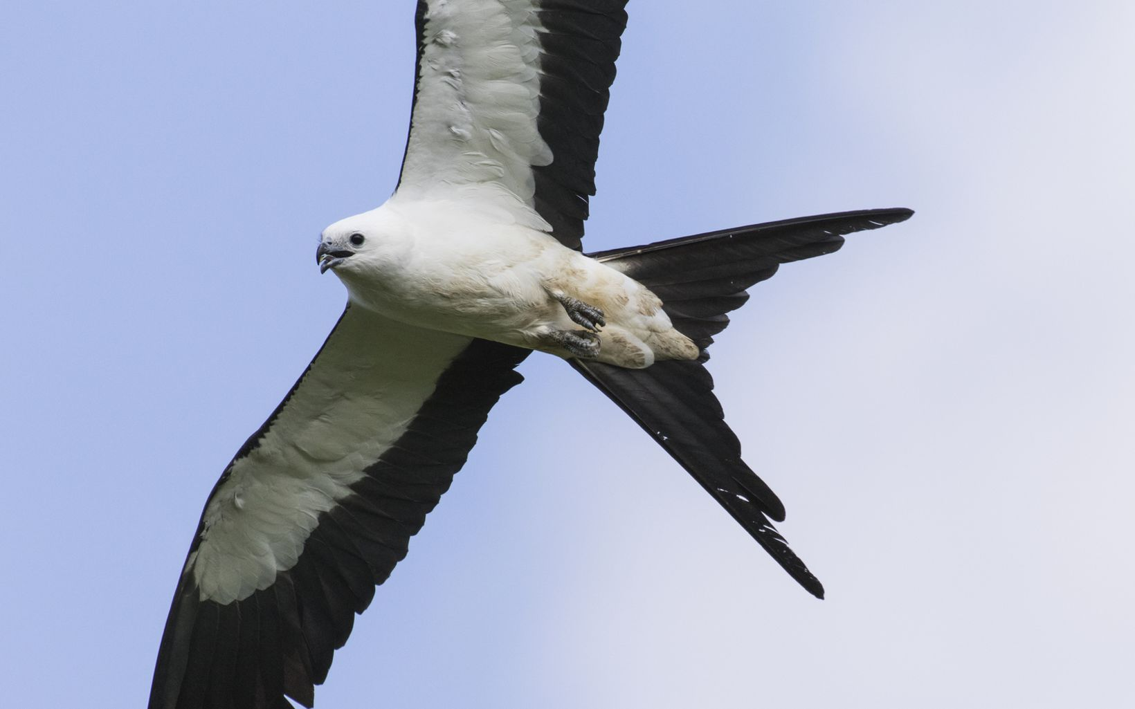Swallow tailed kites (Elanoides forficatus) often flock to agricultural fields to feed on insects before their migration.