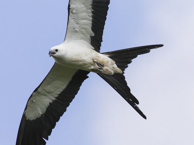 swallow tailed kite flying