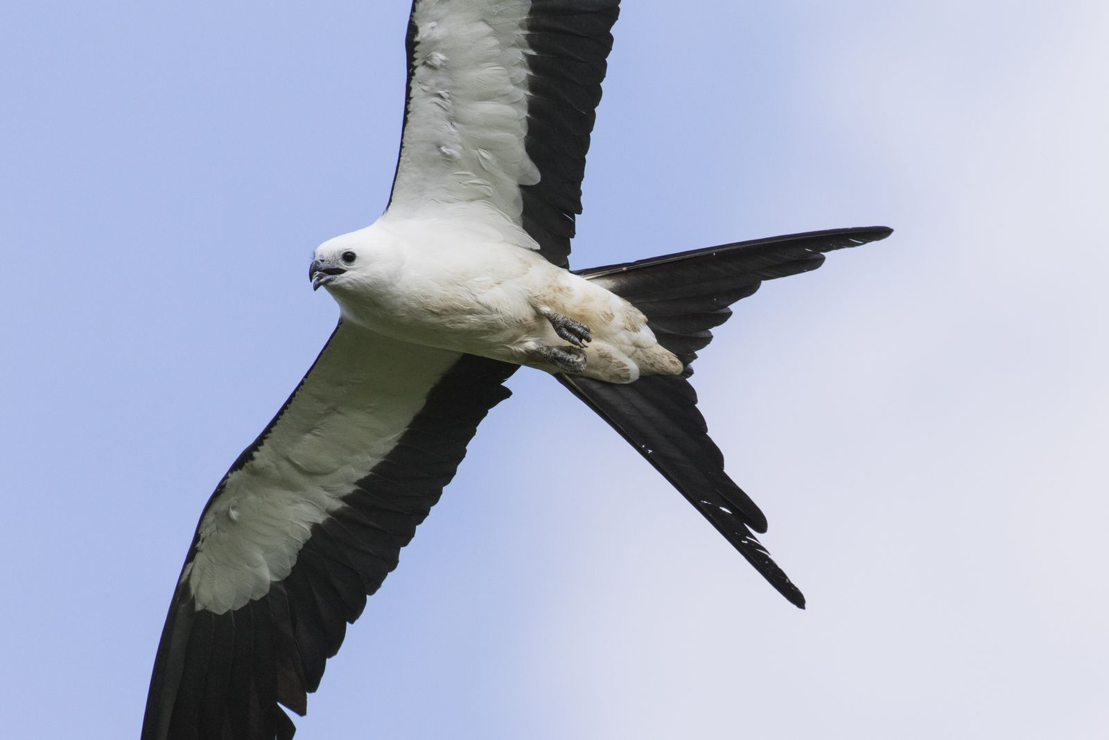 Underside of a small black and white hawk.