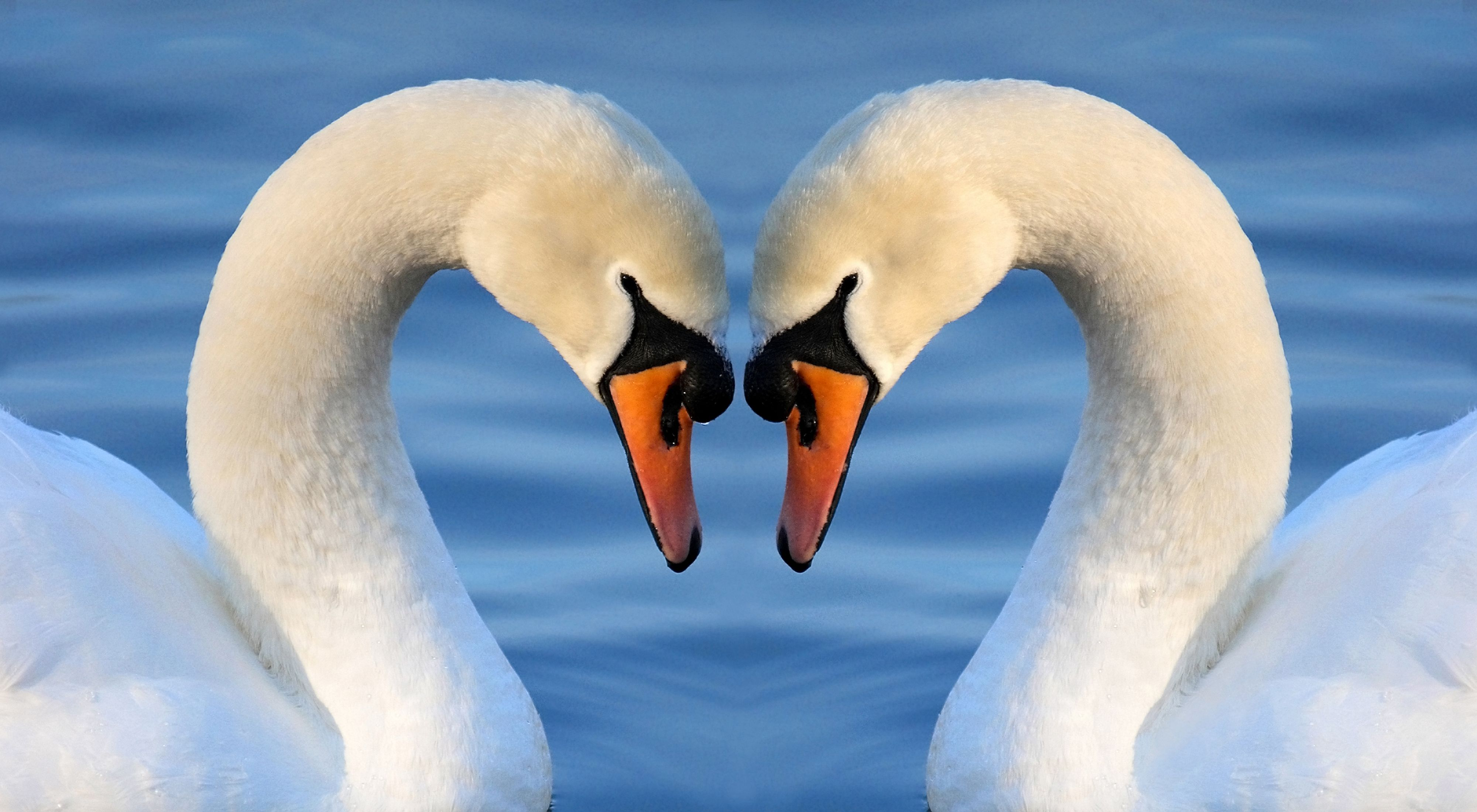 Close-up of two swans with their heads together, making a heart shape.