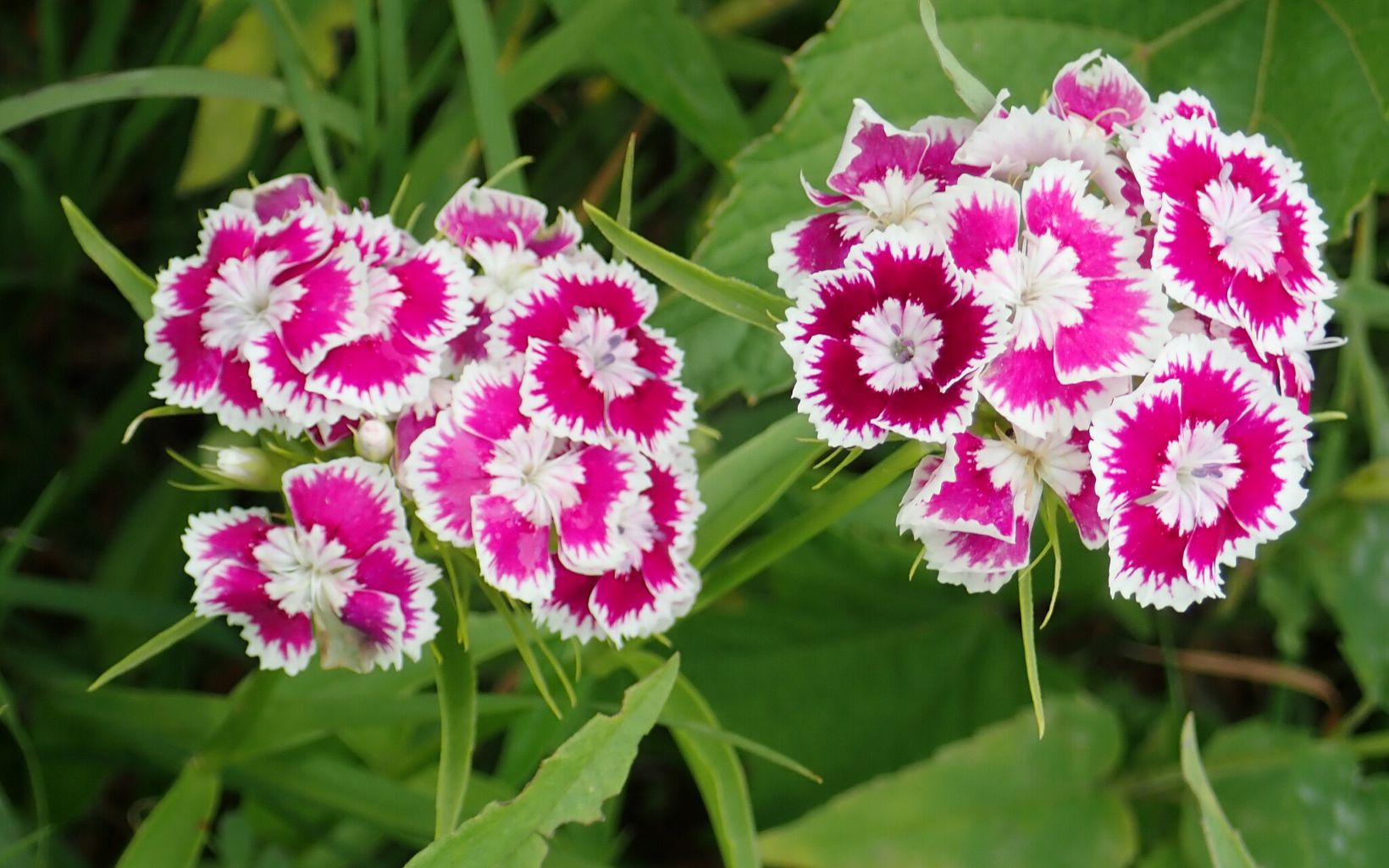 Two clumps of flowers with a hot pink and white ruffled pattern on the petals.