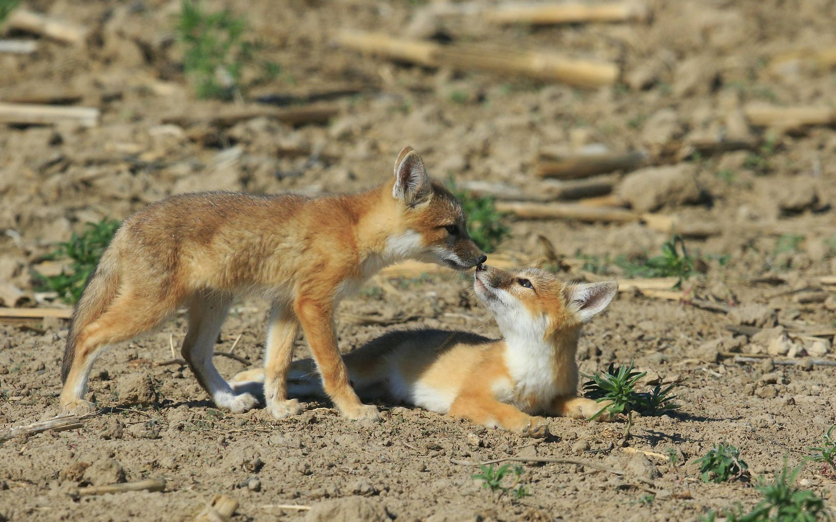 Two young fox pups with noses touching.