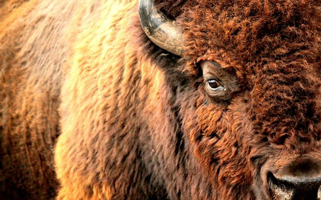 Closeup of bison face showing snow caught in its fur