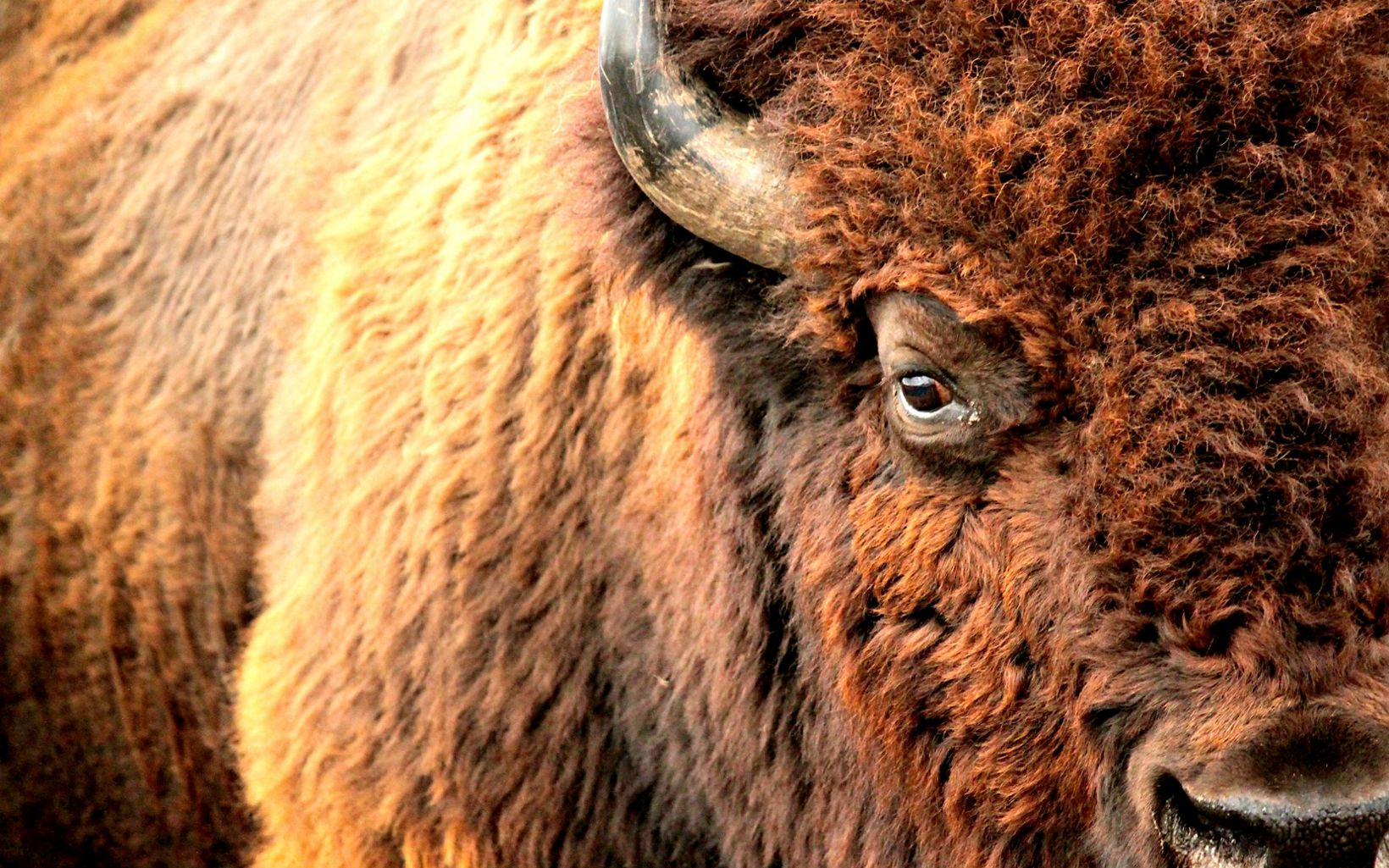 Closeup of Bison