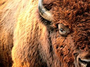 Closeup of the face and side of an American bison.