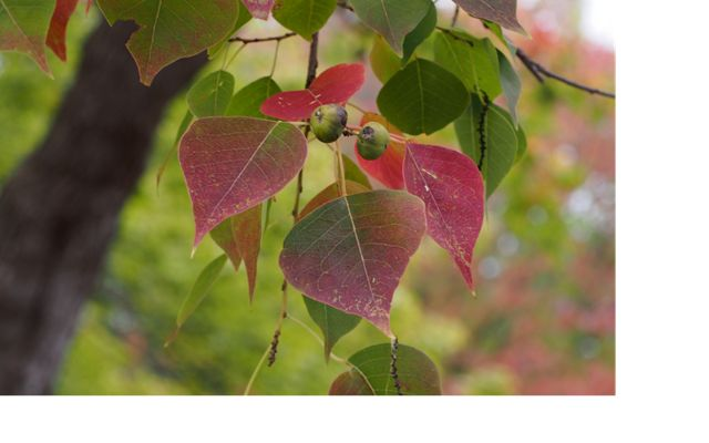 This deciduous tree's colorful fall foliage and rapid growth has made it a popular landscape tree.