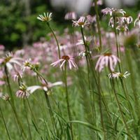 Tall pale purple-flowered plants on a green slope.