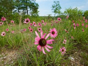 Coneflowers take over a field.