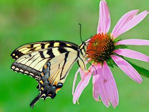 A pale yellow butterfly with black markings sips from a purple coneflower.