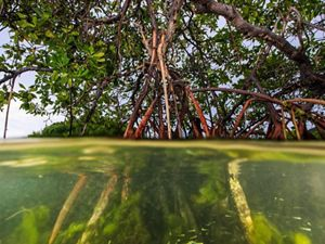 Mangrove roots and fish.