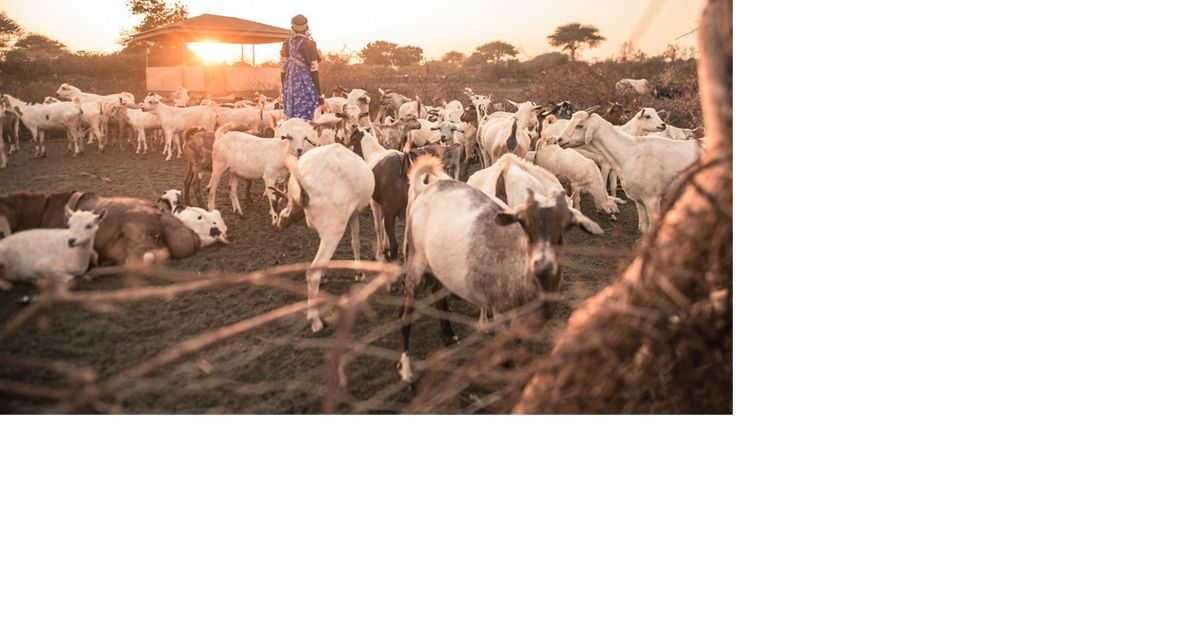 An elderly Maasai women counts goats as they return from the bush.