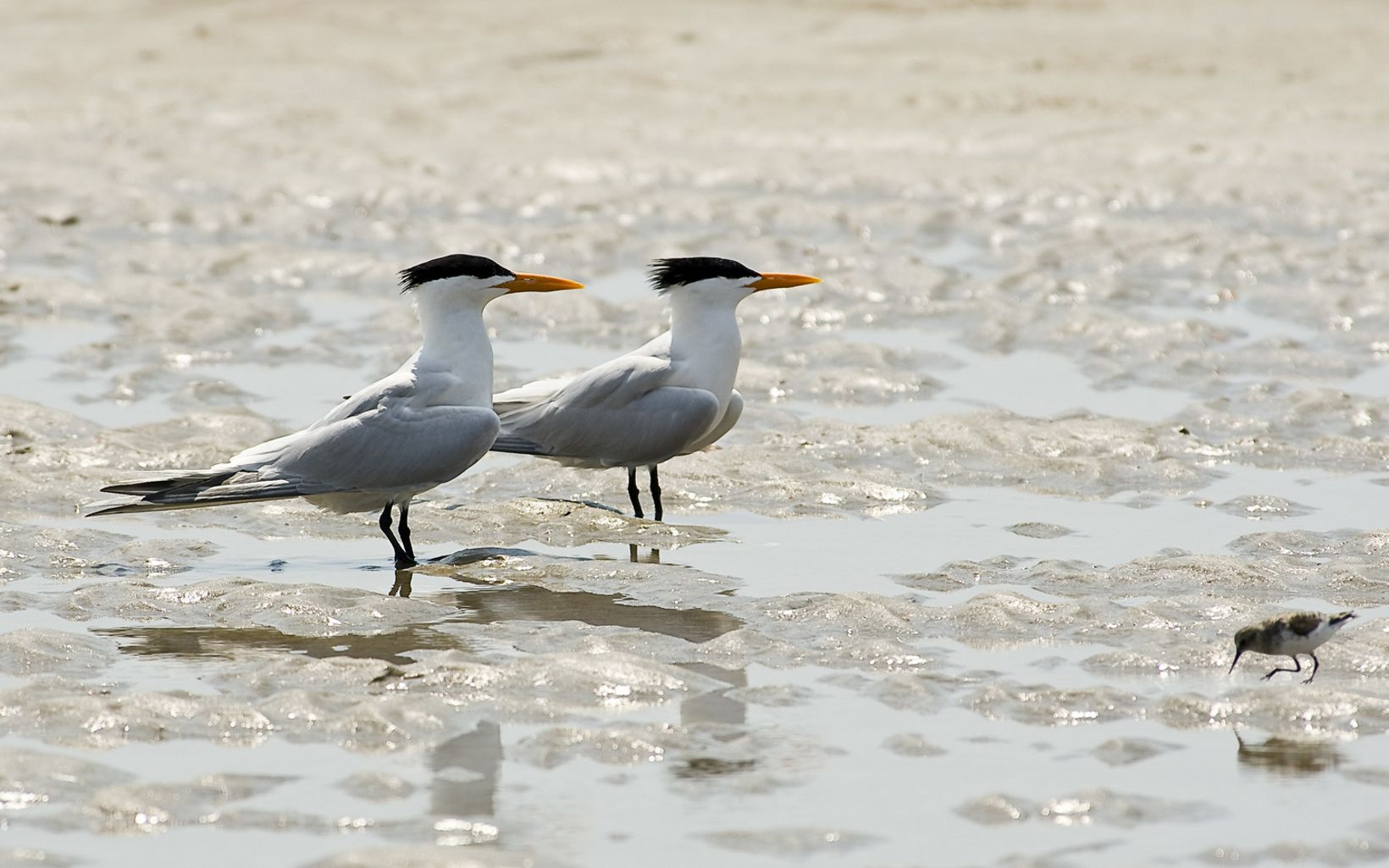 Royal terns standing on the beach