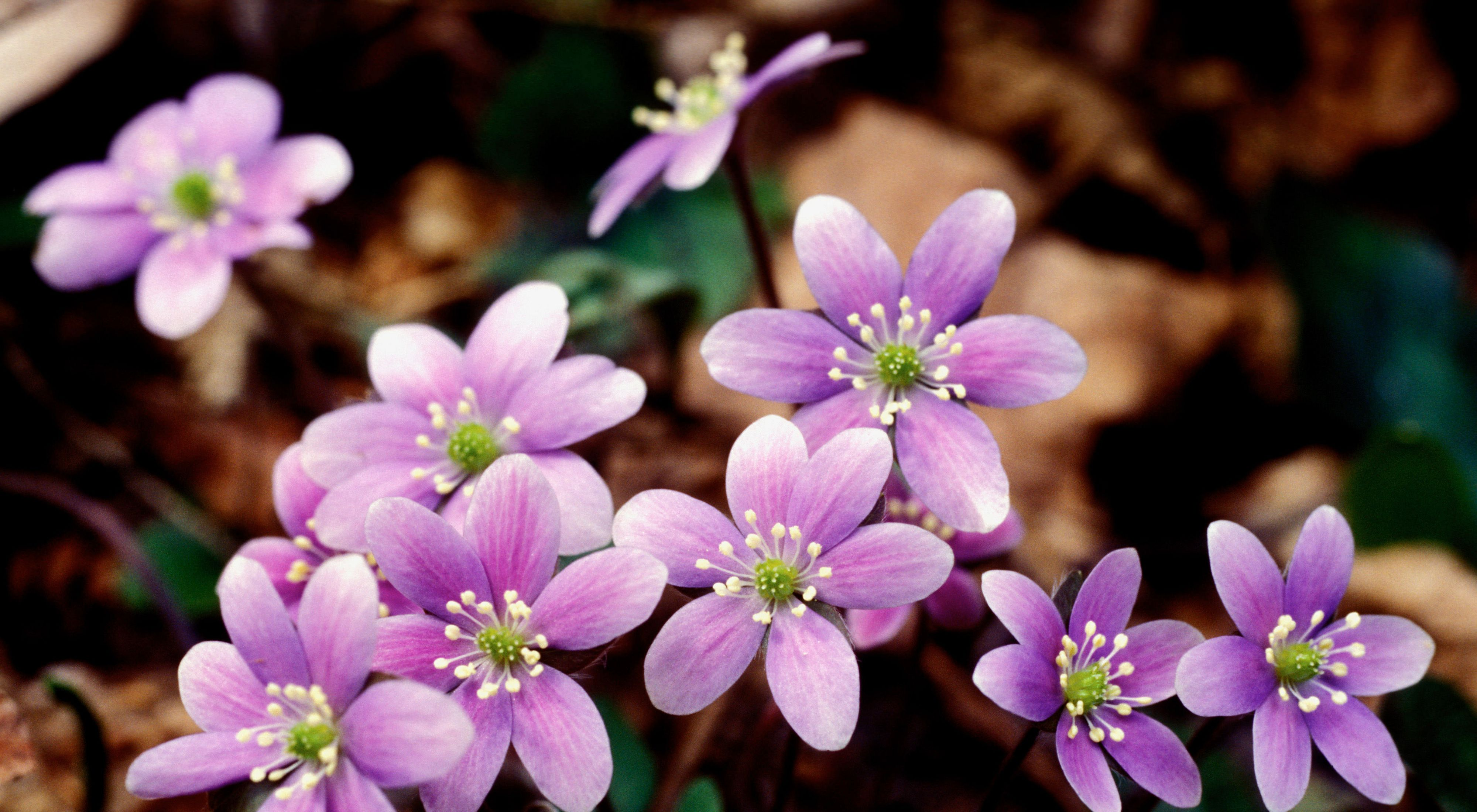 Closeup of a bunch of round lobed light purple hepatica wildflowers.
