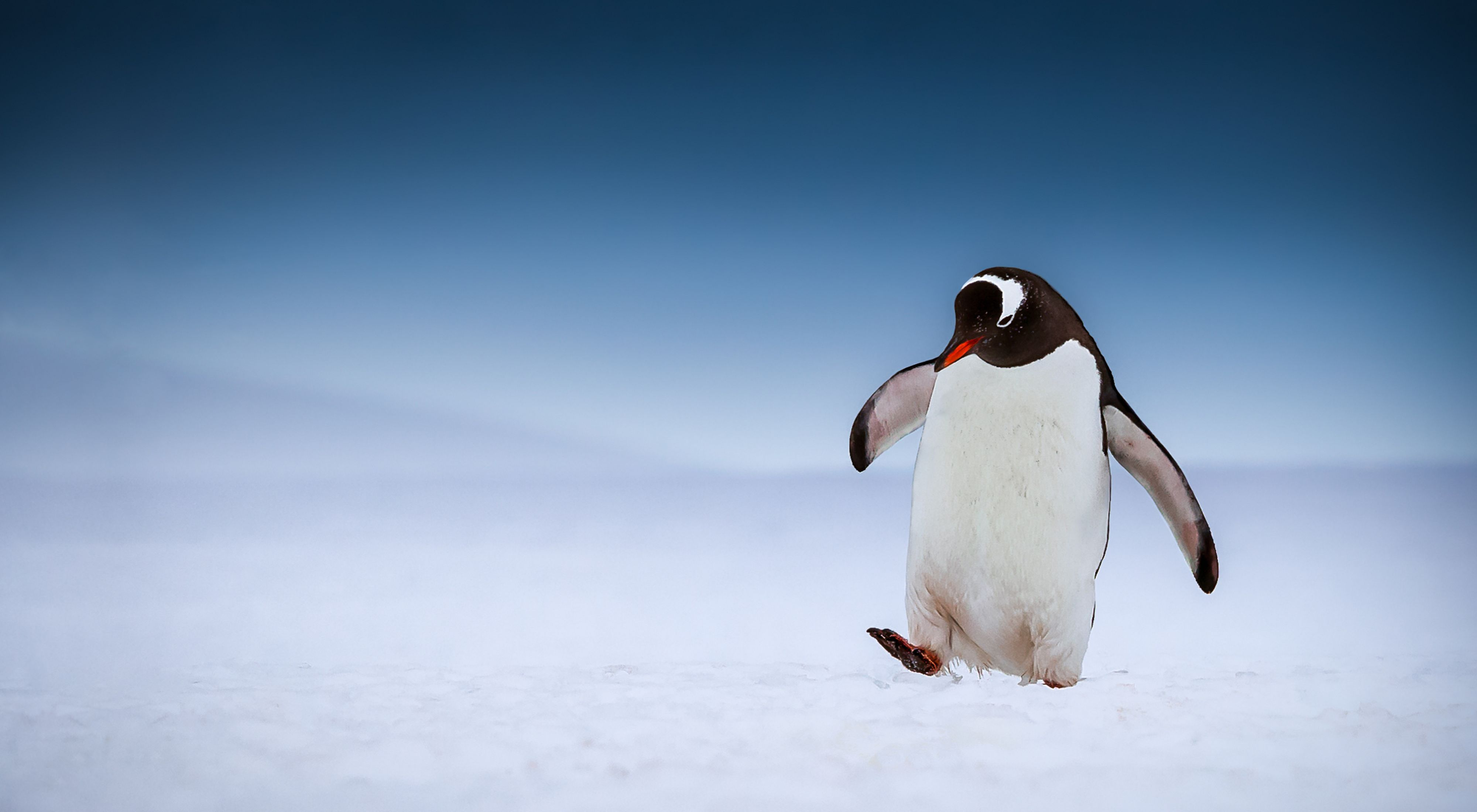 Photo Contest 2018. A Gentoo Penguin out for a stroll on a warm summers day in Antarctica.