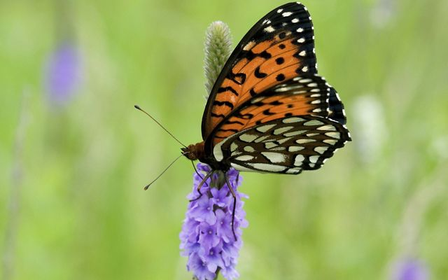 Regal fritillary butterflies feed on nectar from milkweeds and thistles.