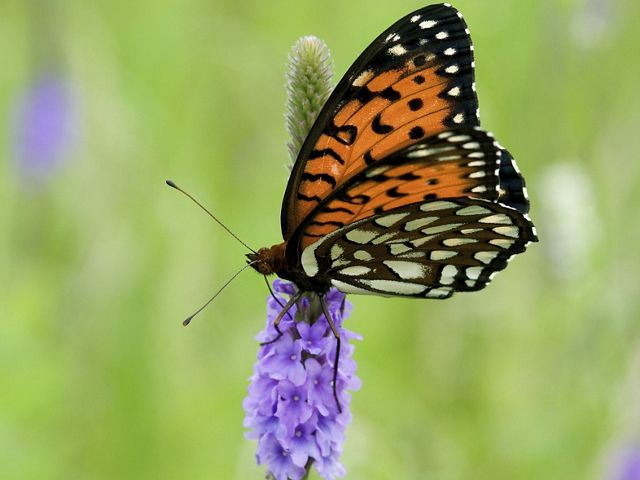 A black, orange and white butterfly perched on a purple flower.