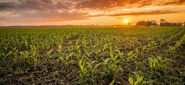 Sun setting over a field of corn.