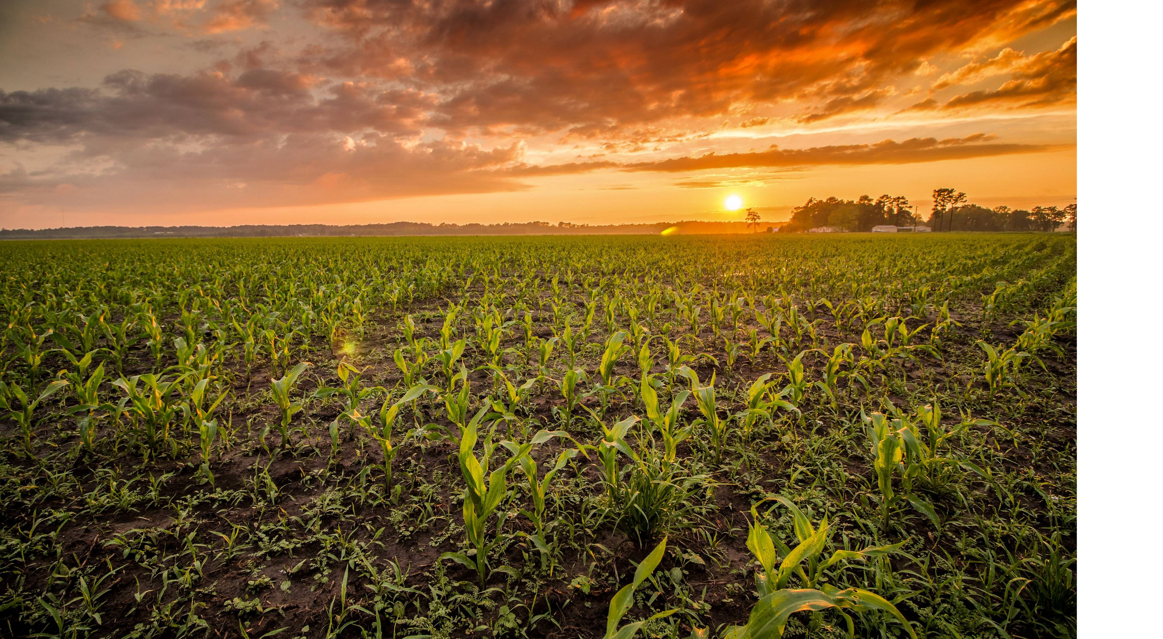 Corn fields outside of Arapahoe, North Carolina at sunset.