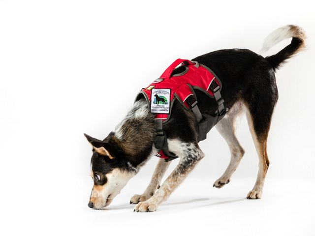 A dog in a red vest sniffs the ground.