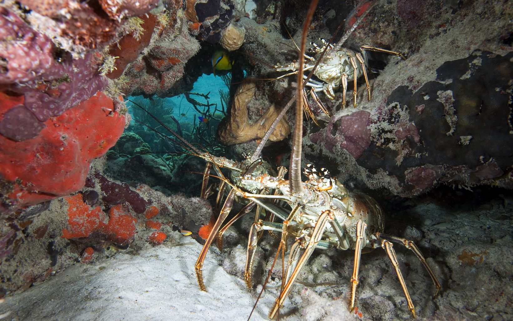 A spiny lobster in the Exuma Cays
