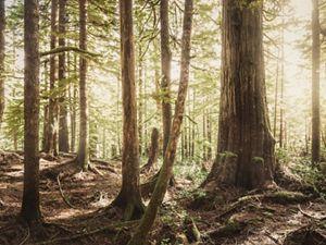 Landscape of old growth forest at the Ellsworth Creek Preserve, Washington.
