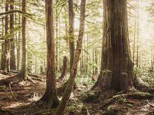 Old growth forest in Washington state.