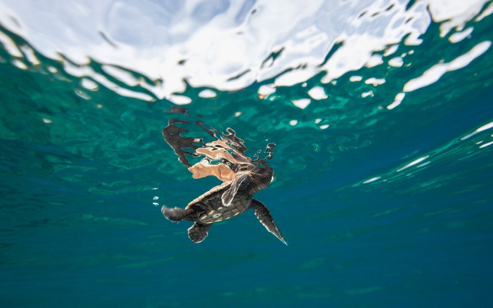 a baby sea turtle near the surface of the water