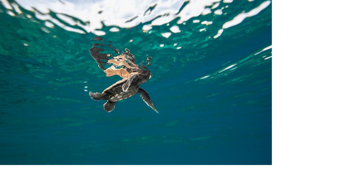 A tiny hatchling swims at the surface of the water