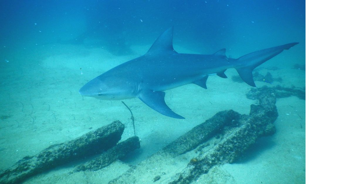 a grey shark swimming over submerged logs