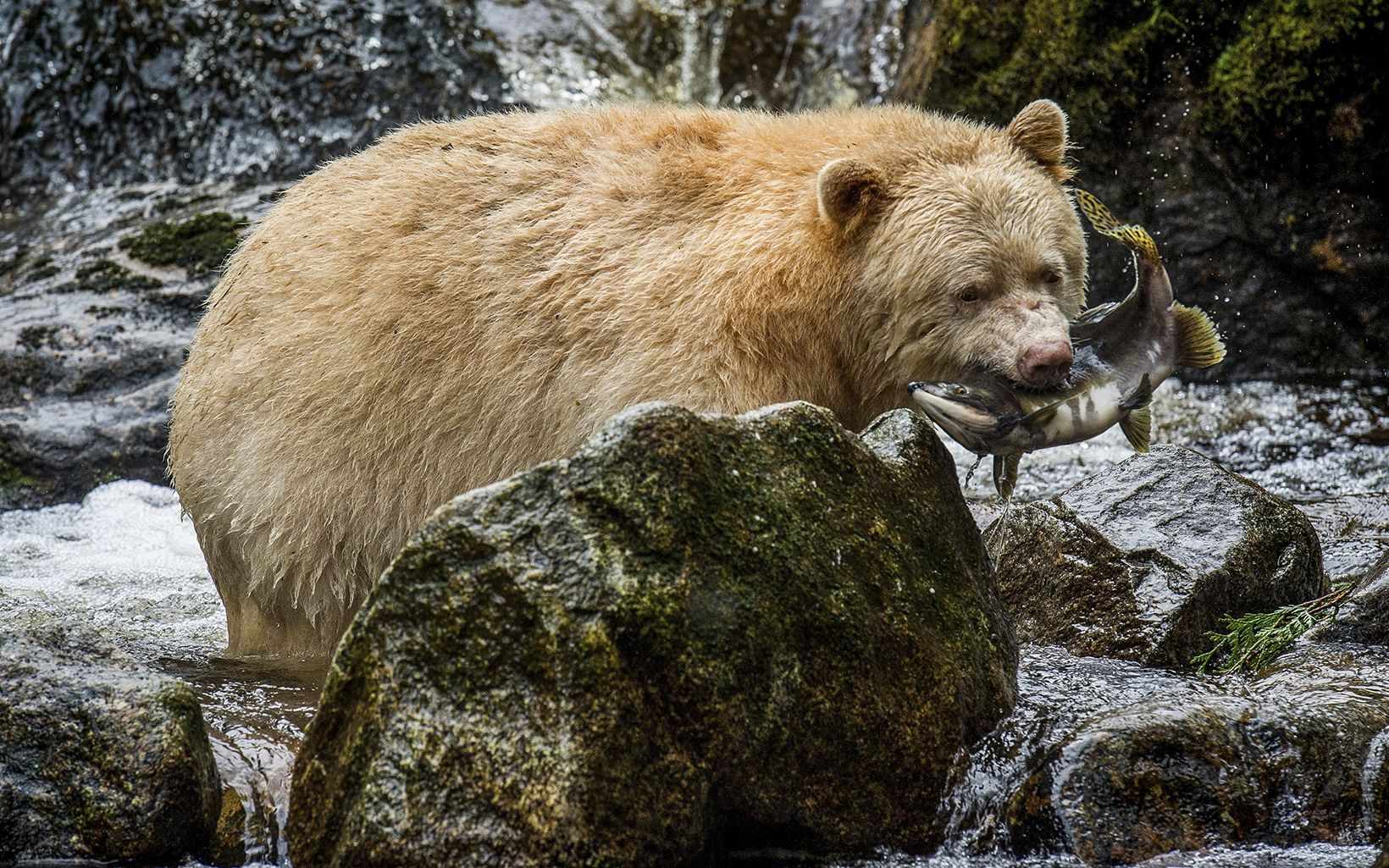 a yellowish white bear catches a fish