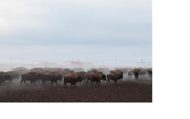 Bison in a holding corral in the mist