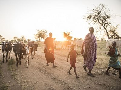 Cows being led to be milked in Tanzania.