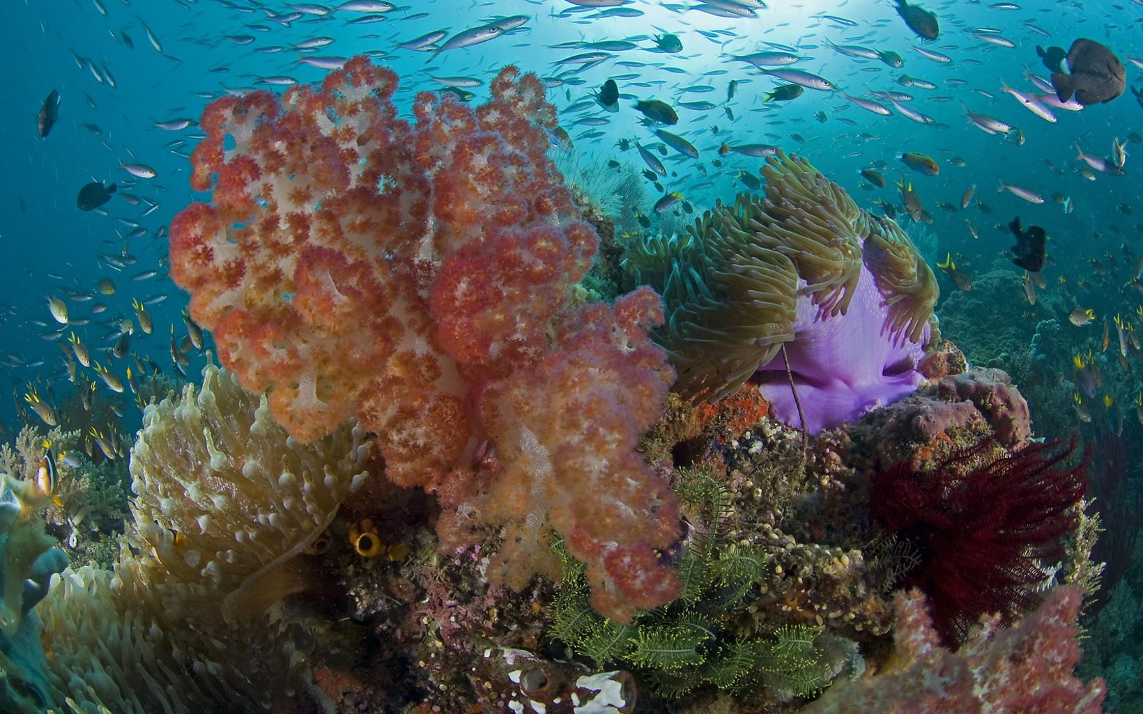 Healthy Corals in Indonesia