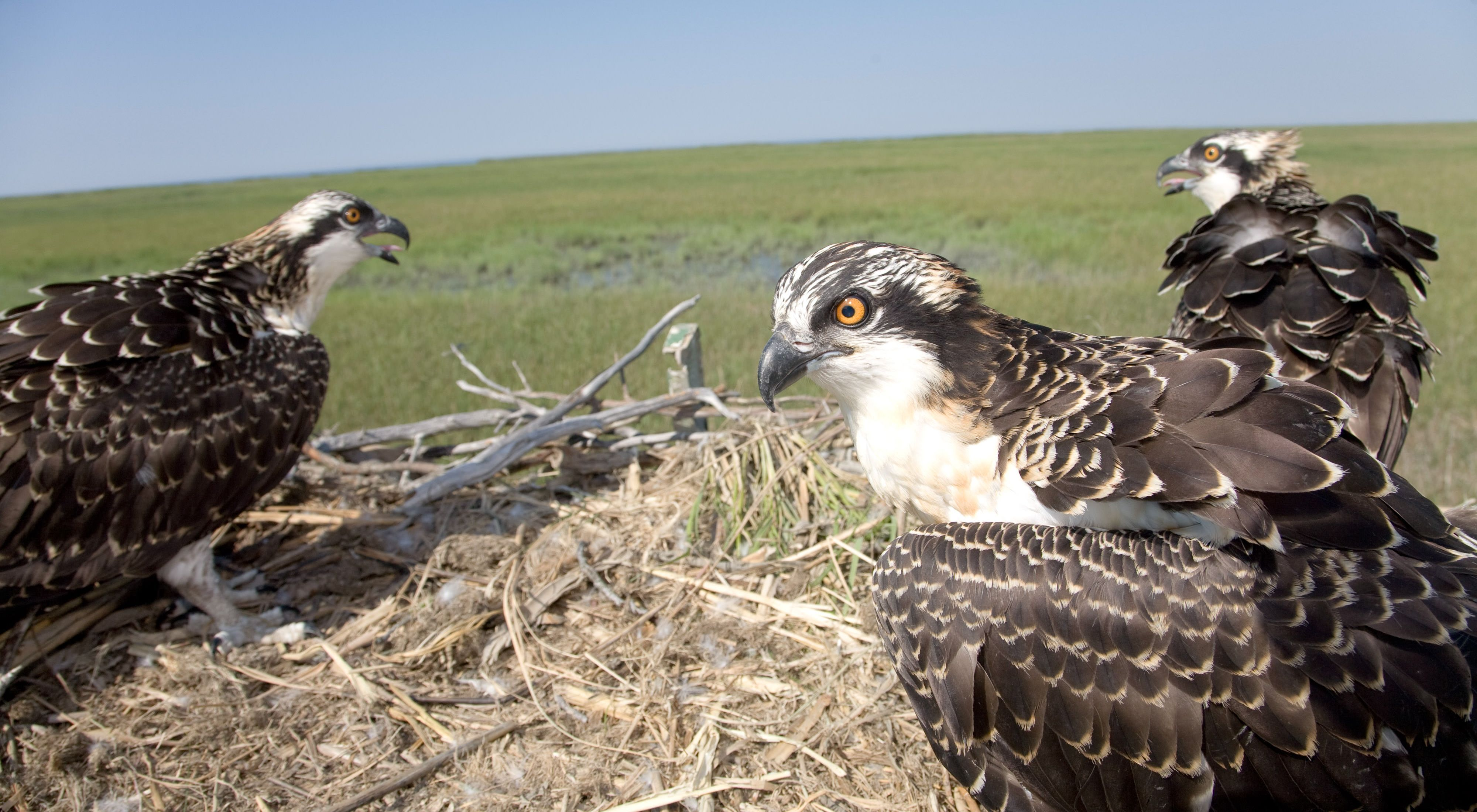 Nesting osprey in New Jersey