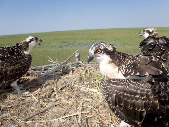 nesting osprey at Eldora