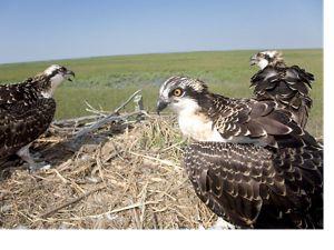 Osprey on nest, Osprey nest check in West Creek area, Dennis Township, NJ at the Eldora Nature Preserve.