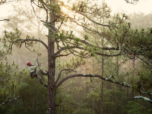 A woman in climbing gear makes her way up a tall pine tree.