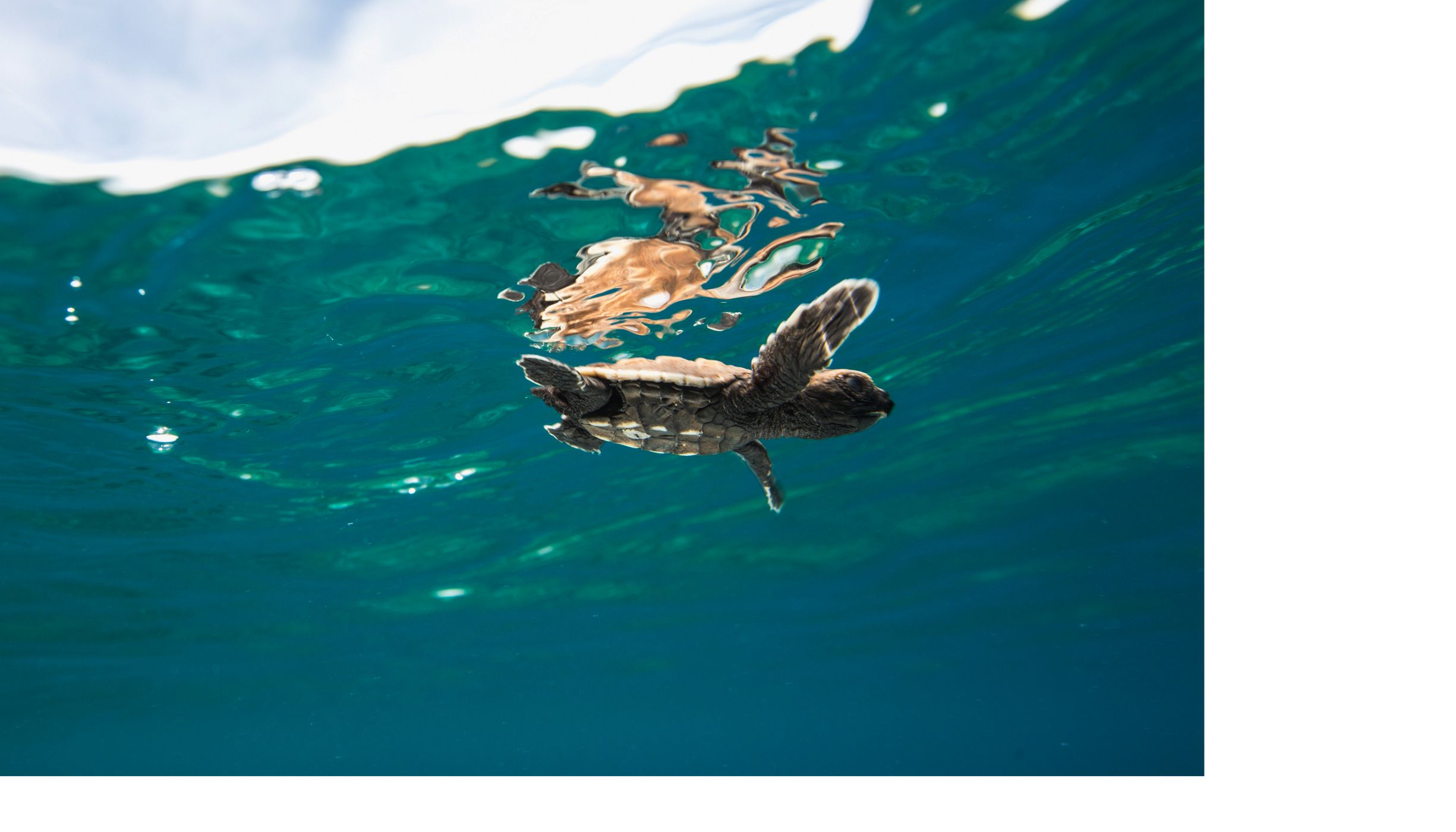 A newly hatched baby turtle makes its way into the ocean, Solomon Islands.
