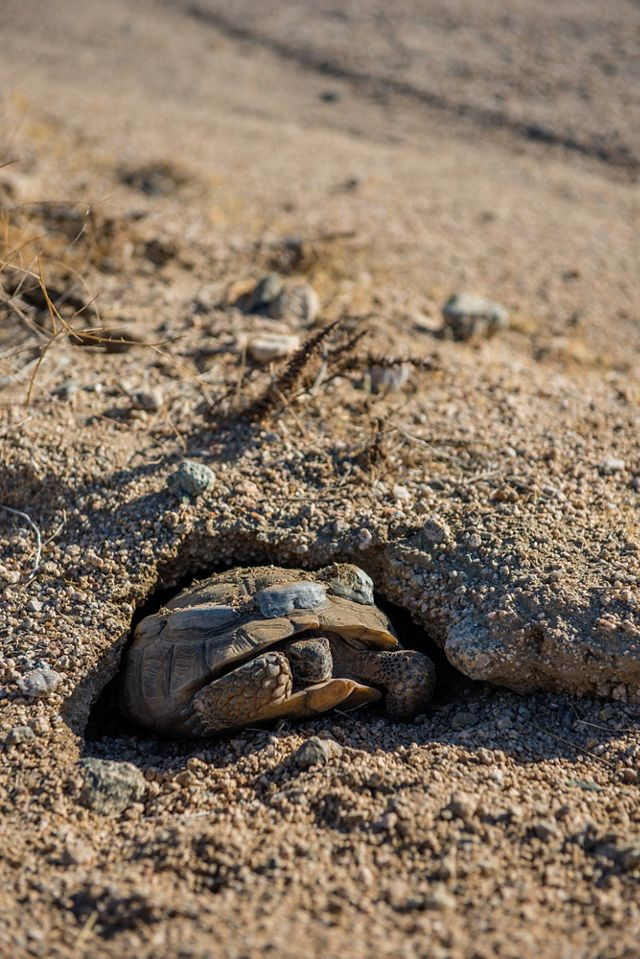 A desert tortoise with radio transmitters on its shell emerges from an underground burrow in the sandy dirt.