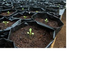 Several plant seedlings sit in bags of soil.