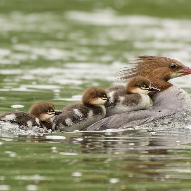 Common Merganser mother shows true love by giving her d