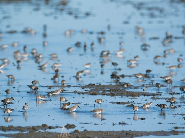 As many as 20,000 dunlin at a time flocked to the temporary wetlands created by the Conservancy's BirdReturns program this spring.