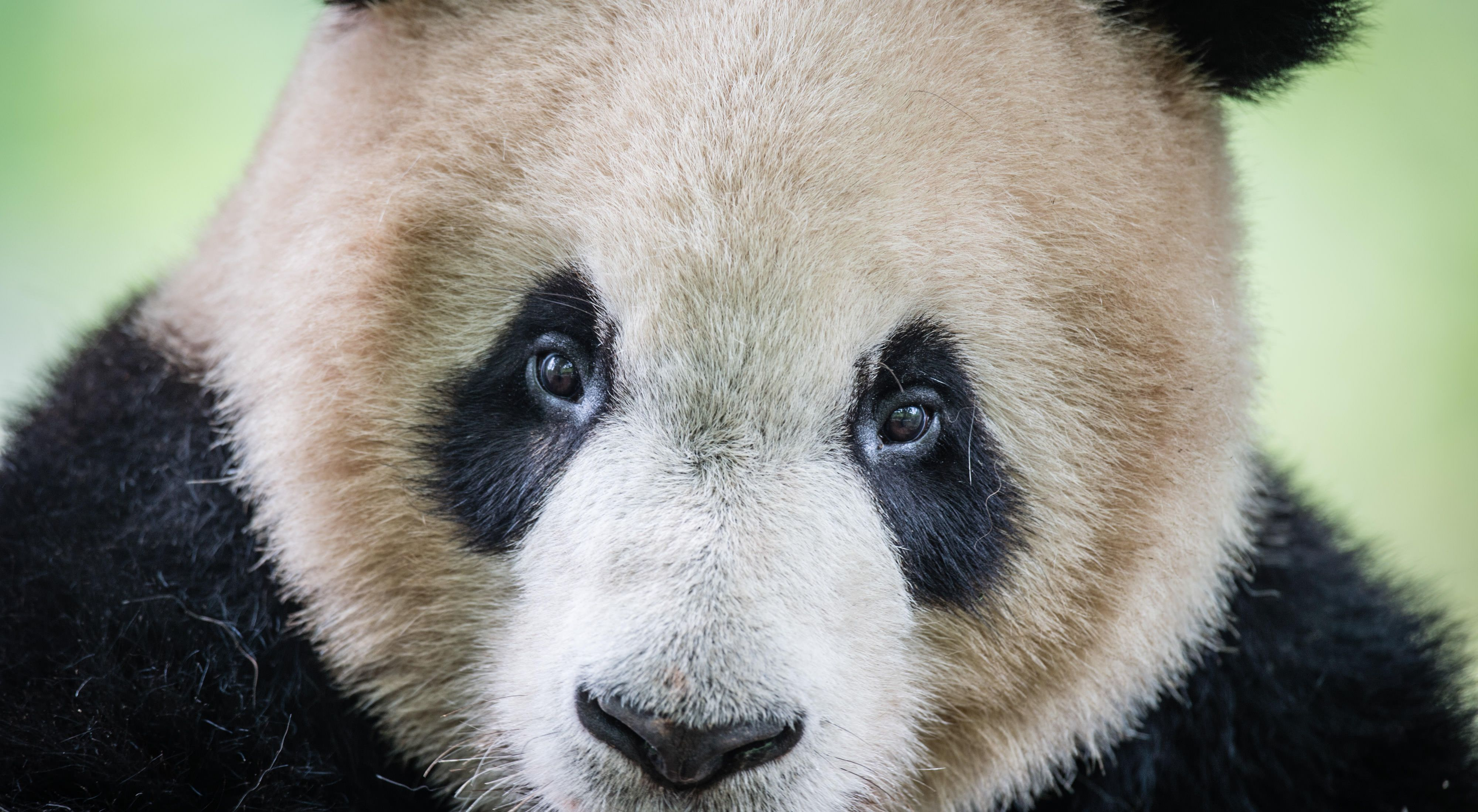 at the Dujiangyan Panda Base outside of Chengdu in Sichuan Province, China.