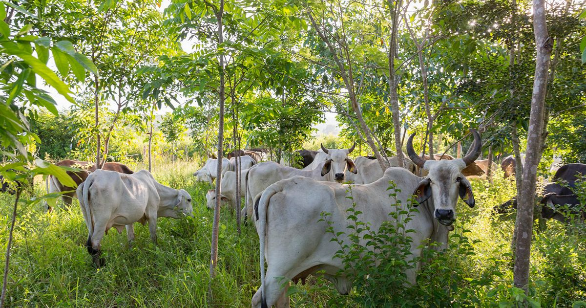 "Cattle graze in the shade of rancher Jose Palomo's ""silvopastoral"" pasture at his ranch Los Potrillos in Becanchen, Yucatan."