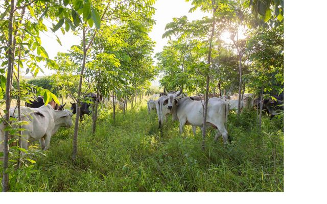 Cattle graze in an area shaded by trees