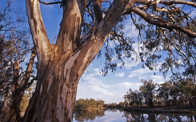 Red gum trees hanging over the banks of the Murray River in Victoria, Australia.